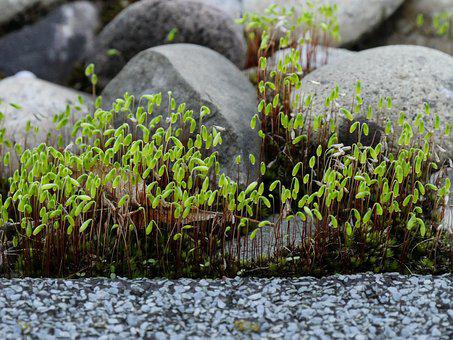 Moss, Laubmoos, Capsule, Close, Stones, Pebble, Wall