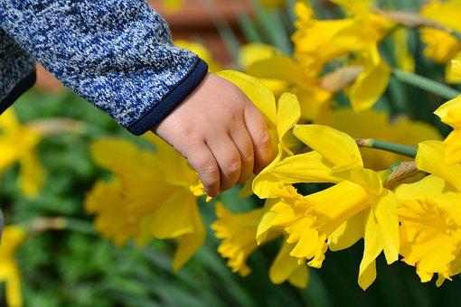 Daffodils, Osterglocken, Hand, Child's Hand, Child