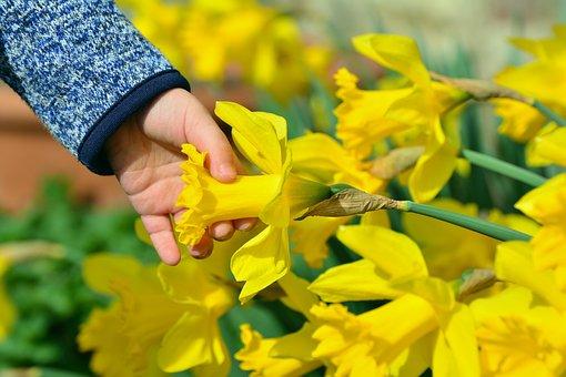 Daffodils, Osterglocken, Child's Hand, Hand, Child