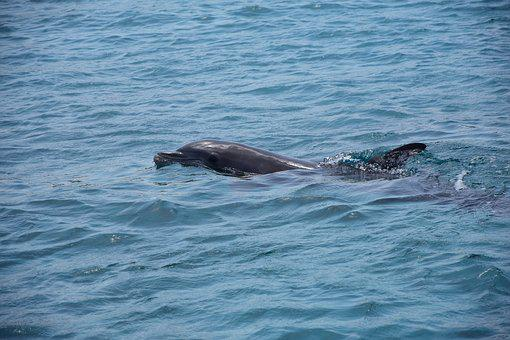 Dolphin, Sea, Marine Mammals, Dolphins, Swim, Ocean