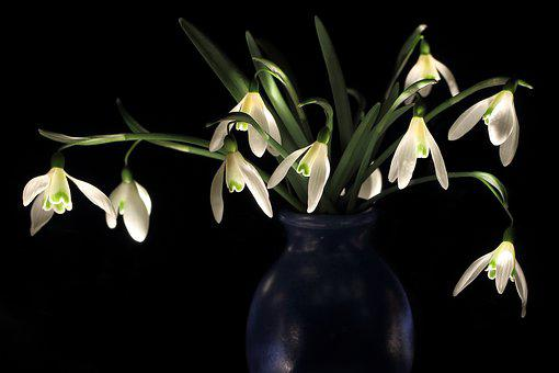 Snowdrop, Early Bloomer, Zwiebelpflanze, Onion, Nature