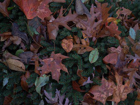 Autumn, Autumn Leaf, Autumn Leaves, Bush, Evergreen