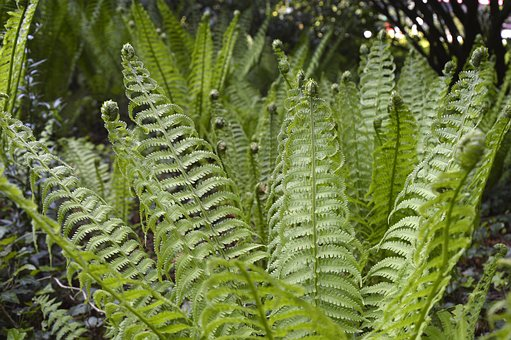 Fern, Plant, Green, Nature, Leaves, Filigree