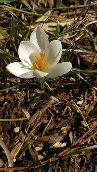 Crocus, White, Spring, Flower, Nature, Bloom, Floral