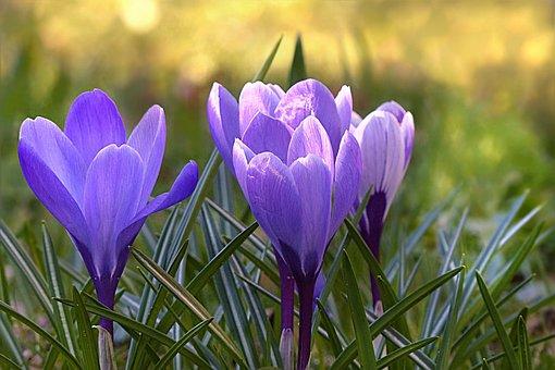 Crocus, Flower, Violet, Spring, Flowers