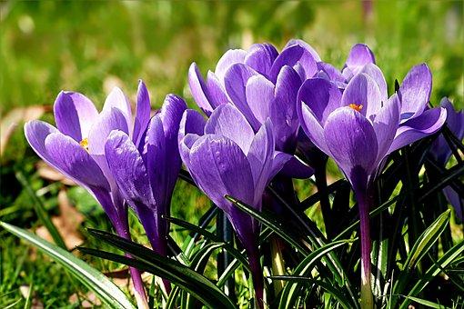 Flower, Crocus, Violet, Spring