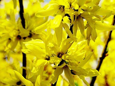 Forsythia, Forsythienblüte, Yellow, Spring