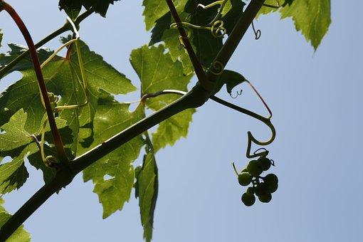 Grapes, Vine, Vineyard, Strain, Parra, Nature, Green
