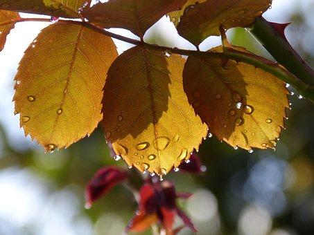 Leaves, Rosebush, Drops, Rocio, Translucent, Light Kit