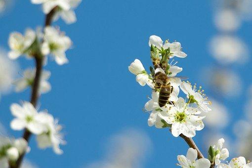Bee, Macro, Close Up Of Flowering Shrub, White, Blossom