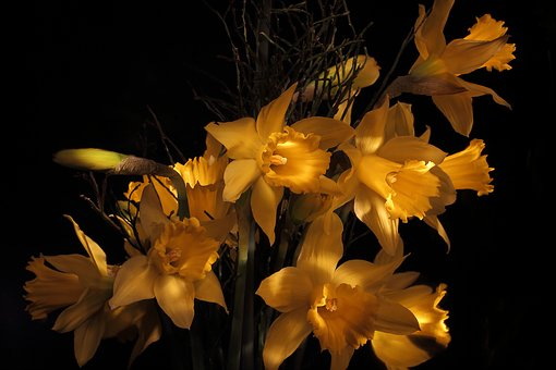 Narcissus, Daffodil, Spring, Narcissus Pseudonarcissus