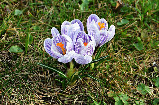 Flowers, Crocus, Spring, Nature, Blooms