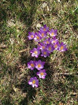 Crocus, Bloom, Blooming, Spring, Nature, Flower, Violet