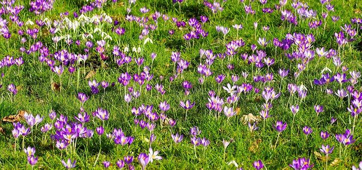 Crocus, Garden, Spring, Nature, Spring Flowers