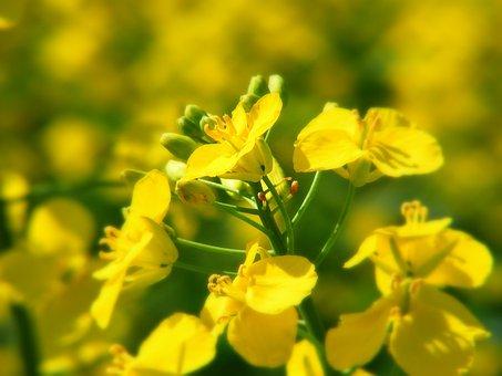 Oilseed Rape, Field Of Rapeseeds, Yellow, Field, Plant