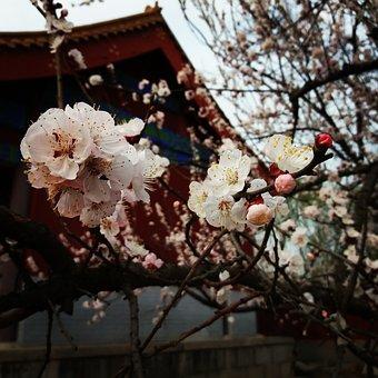 Flower, Plum Blossom, Spring