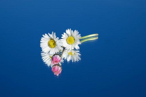 Daisy, Flower, Flowers, Red, Pink, White, Tausendschön