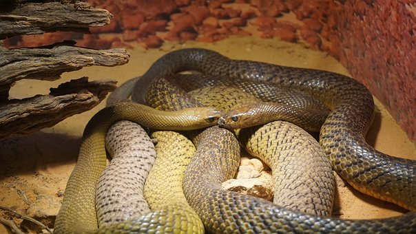 Snakes, Two, Together, Reptile, Resting, Captivity