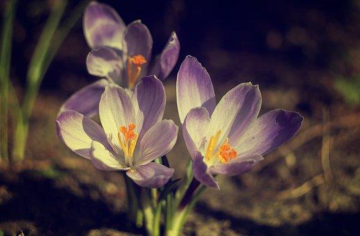 Crocus, Nature, Violet, Saffron, Blooms, Spring