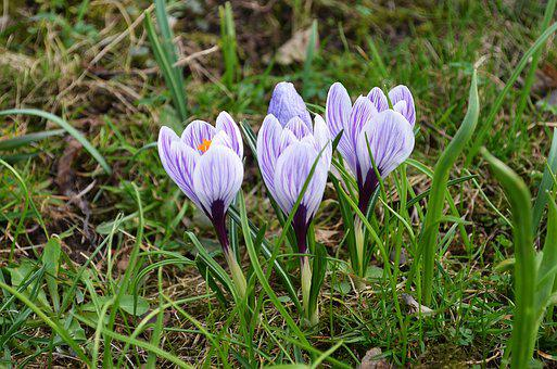 Flowers, Crocus, Spring, Nature, Blooms, Flower