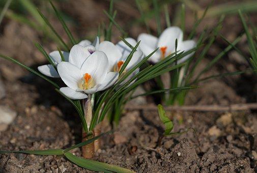 Crocus, Blossom, Bloom, Spring, Flower, Spring Flower