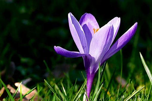 Crocus, Flower, Violet, Spring