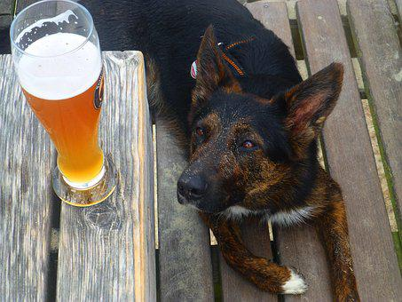 Thirst, Beer, Dog, Summer