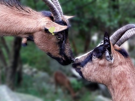 Goats, Two, Sniff, Nature, Ticino