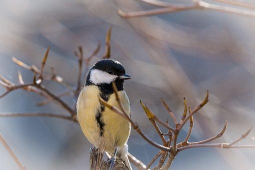 Tit, Songbird, Bird, Small Bird, Garden, Sitting