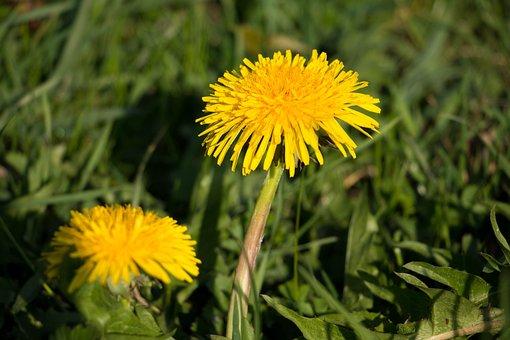 Dandelion, Yellow, Blossom, Bloom, Spring, Flower