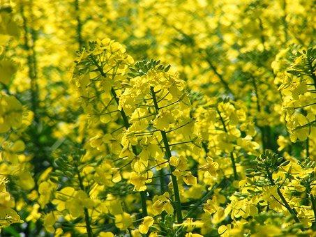 Field Of Rapeseeds, Oilseed Rape, Field, Yellow, Plant