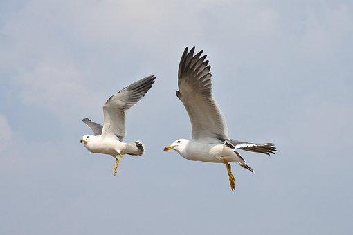 Animal, Sky, Sea Gull, Seagull, Seabird, Wild Animal