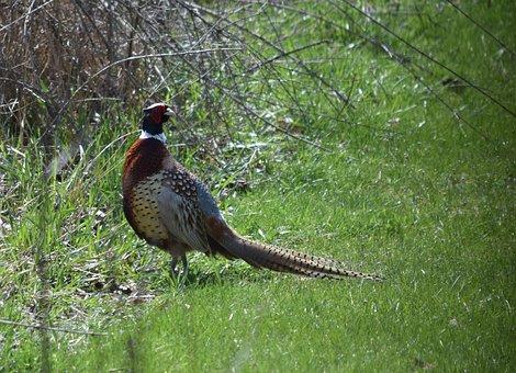 Pheasant, Ring-necked, Feathers, Tail, Bird, Wildlife