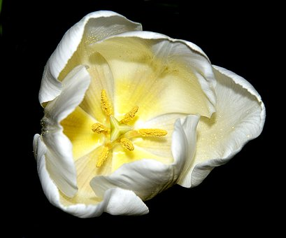 Tulip, White, Blossom, Bloom, Black Background