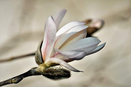 Magnolia, Plant, Flower, Blossom, Bloom, Bloom, Nature