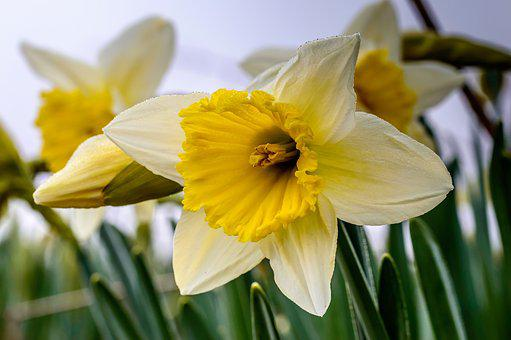 Osterglocken, Blossom, Bloom, Yellow, Spring, Narcissus