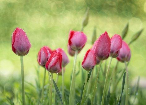 Tulips, Garden, Spring, Nature, Flower, Plant, Blossom
