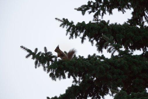 Branch, Pine, Spruce, Squirrel