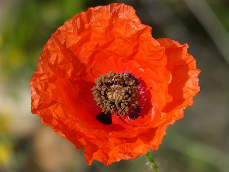 Poppy, Ababol, Detail, Texture, Petal, Red, Spring