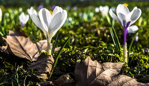 Crocus, Spring, Flower, Nature, Garden, Spring Crocus