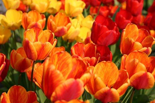 Flower, Tulip, Spring, Flowers, Garden, Plant