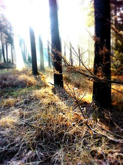 Forest, Sunbeam, Winter, Back Light, Light Beam, Firs