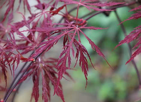 Japanese Maple Leaves, Forming, Tree, Plant, Red
