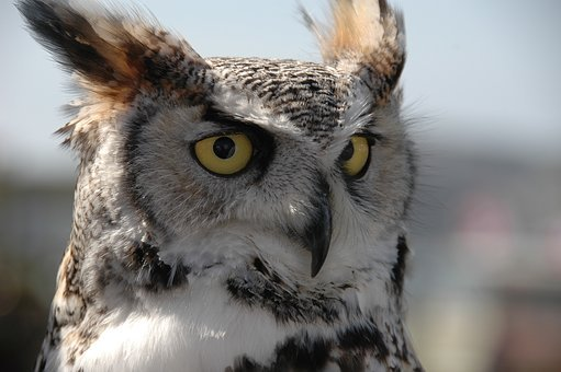 Owl, Bird, Feathers, Eyes, Gold, Nature