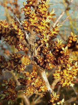 Sea Buckthorn, Buckthorn Flower, Hippophae Rhamnoides