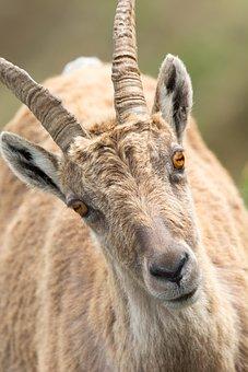 Stone Goat, Portrait, Alpine, Bregenzerwald, Kanisfluh