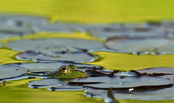 Frog, Lake, Pond, Frog Pond, Nuphar Lutea, Lily Pad