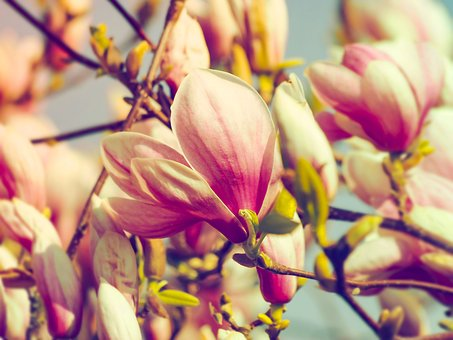 Magnolias, Spring Flowers, Flowering, Flower, Plant