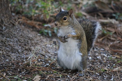 Squirrel, Posed, Nature, Standing, Up, Outdoor, Fur