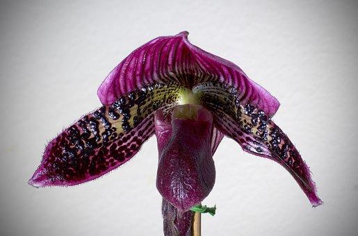Paphiopedilum, Orchid, Bloom, Flower